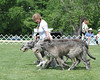 IWCA 2012 - Thursday : Irish Wolfhound Club of America national specialty show At Purina Farms in MO, May 3, 2012.  Candid shots, BOB, non-regular classes (including the truly fabulous Team class, with a team of Veterans from a litter that made up a puppy team 7 years ago, and another team made up of 4 generations).